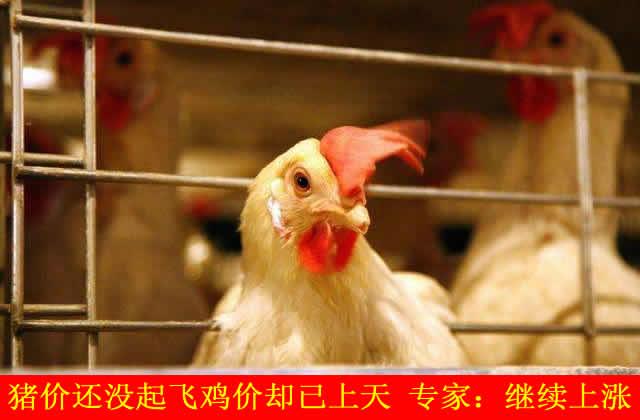 猪价还没起飞鸡价却已上天 专家:继续上涨
