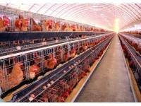 蛋鸡绦虫病感染鸡群的症状与防治体会