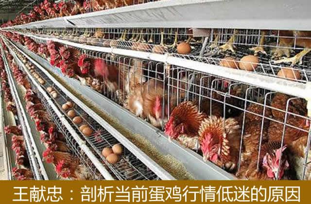 王献忠:剖析当前蛋鸡行情低迷的原因