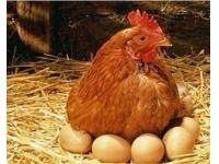 蛋鸡饲喂发酵饲料的七大好处