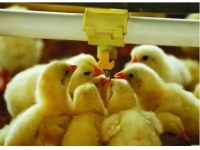 雏鸡的第一口水,该怎么喝?