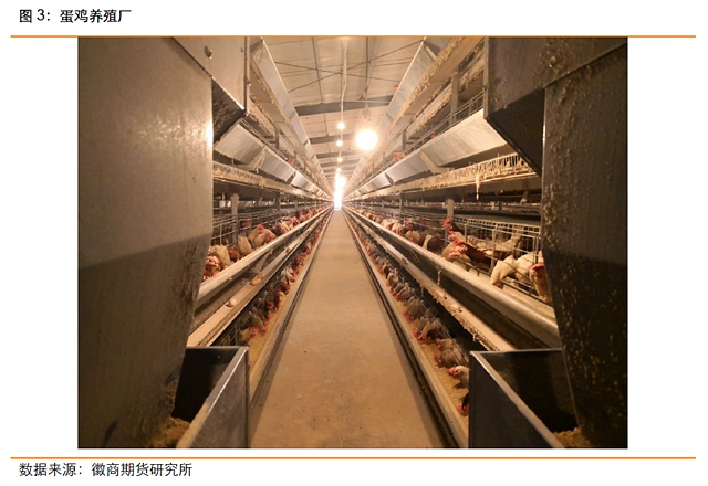 9月4日,调研团队驱动前往上海,上海某鸡蛋贸易商总经理陈总接待了我们一行。陈总首先为我们介绍了企业概况,该企业每天走货量是8000-10000件,作为贸易商目前有库存,每天约为500箱,这个量是循环更新的而不是单一的静态库存概念。该贸易商的货源来自江苏、东北、河北和河南等地,去向主要为江浙沪农贸市场、配送中心、学校、超市。陈总表示,目前现货价格也在走弱,红蛋一箱为125元(27.5斤),粉蛋一箱为180元(45斤)。鸡蛋价格走势如下图。