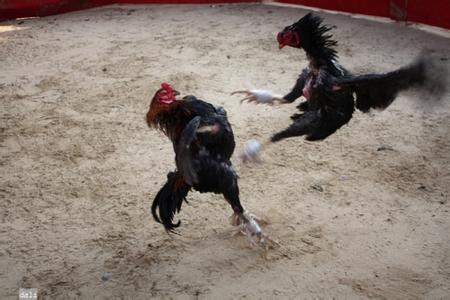 智利斗鸡 - 鸡品种大全