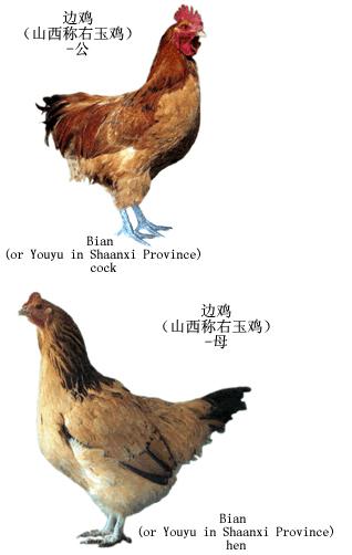 鸡 弯 手绘